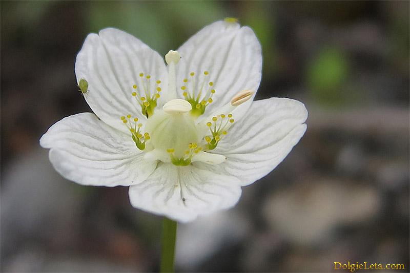 Морошка цветы