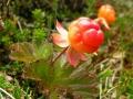 Две ягоды морошки на стебельках и листья