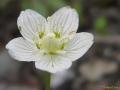 Цветение морошки  - белый цветок