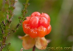 Оранжевая ягода морошка с чашелистиком на стебельке
