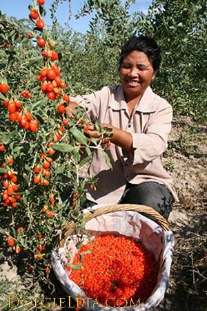 женщина собирает с ветки в корзину ягоды