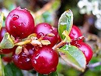 полезные свойства ягоды брусники