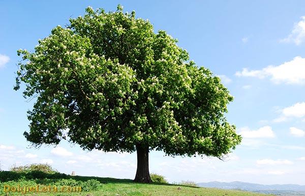 Большое каштановое дерево
