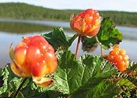 Полезные свойства ягоды морошки