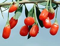 Употребление ягод Годжи для похудения