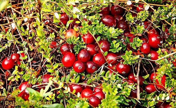 Как растет спелая ягода на болоте.