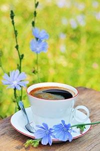 Цикорий: полезные свойства и противопоказания напитка.