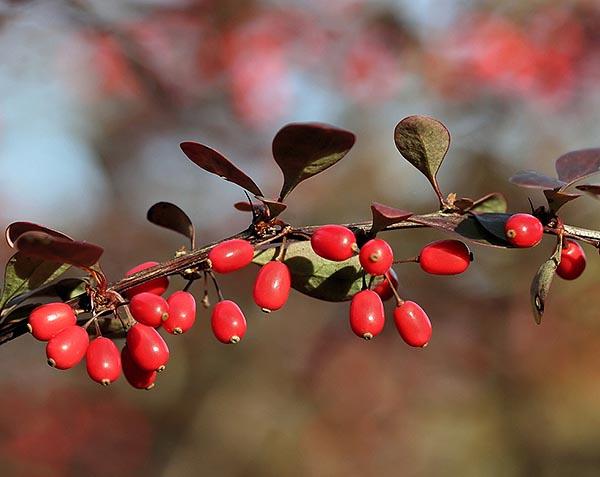 Фотография ветки ягод барбариса с листьями - полезные свойства спелых плодов.