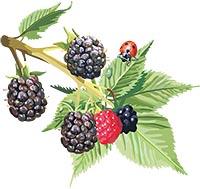 Ежевика - полезные и лечебные свойства ягоды.