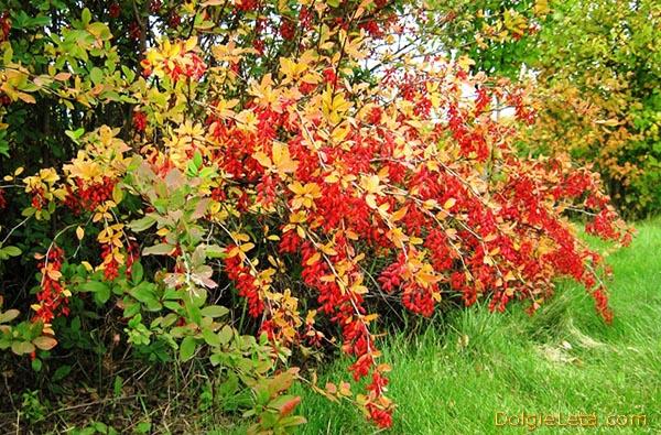 Где и как растет барбарис, когда собирают плоды ягод - фотография кустарника.
