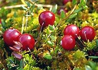 Где и как растет клюква, когда собирают кислую ягоду.
