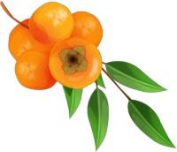Как и где растет хурма - полезные свойства плодов.