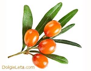 Фото облепихи - полезные свойства ягоды.