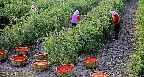 Как растет ягоды Годжи и сбор спелых плодов.