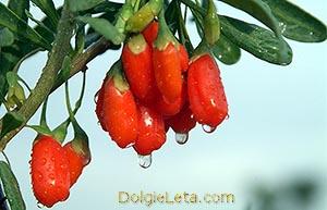 Полезные свойства ягод дерезы обыкновенной - употребляем спелые плоды для похудения.