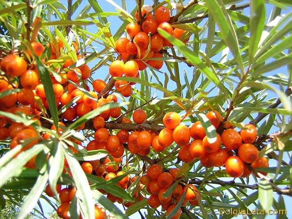 Фото спелых гроздей  ягод облепихи на ветке куста с  листвой.