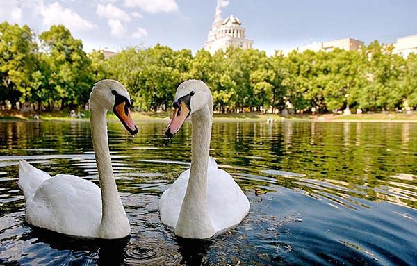Фотография двух лебедей на Патриарших прудах.