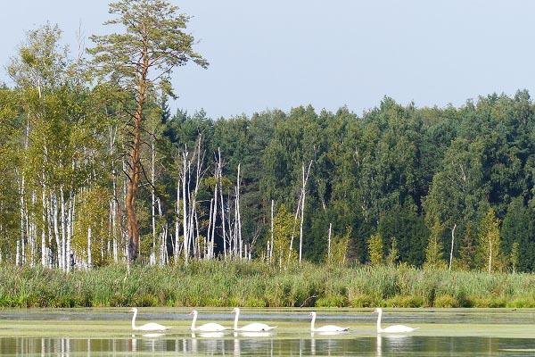 Лебеди на пруду в заповеднике Лосиный остров в Москве.