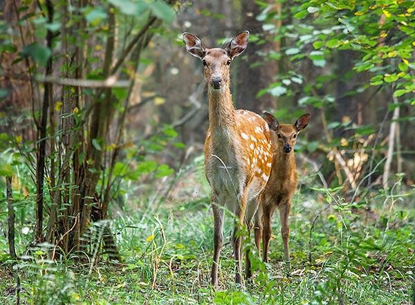 Фотография маленького олененка и мамы в национальном парке Лосиный остров.