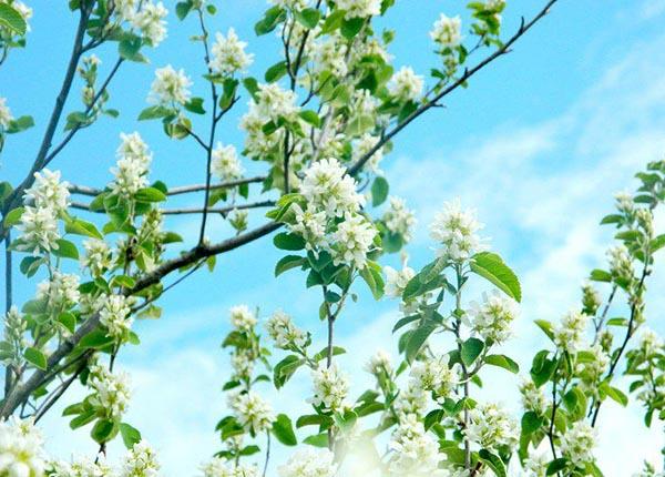 Цветущая ирга весной.