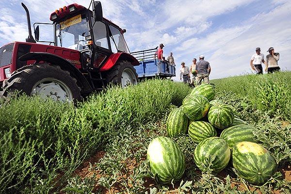 Сбор спелых арбузов - бахча, трактор
