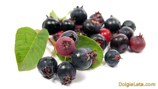 Ирга - чем полезна ягода, польза и вред для здоровья.