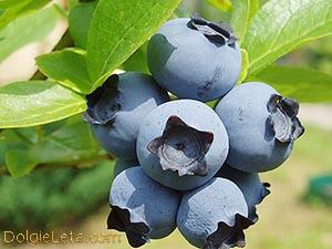 Голубика: полезные свойства и противопоказания ягоды к употреблению.
