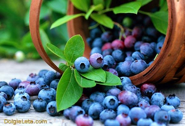 Лесная ягода голубика - где растет и когда созревает для сбора.