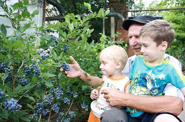 Дедушка показывает внукам садовую голубику.