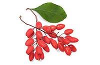 Употребляем барбарис для похудения - спелая веточка ягод.