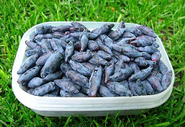 Показания и противопоказания к употреблению ягод жимолости. Польза и вред для организма.