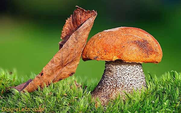 На фото гриб подосиновик