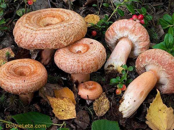 На фото грибы волнушки