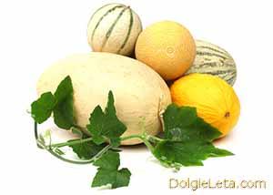 Дыня: польза и вред для здоровья. На фото разные виды и сорта бахчевых культур.