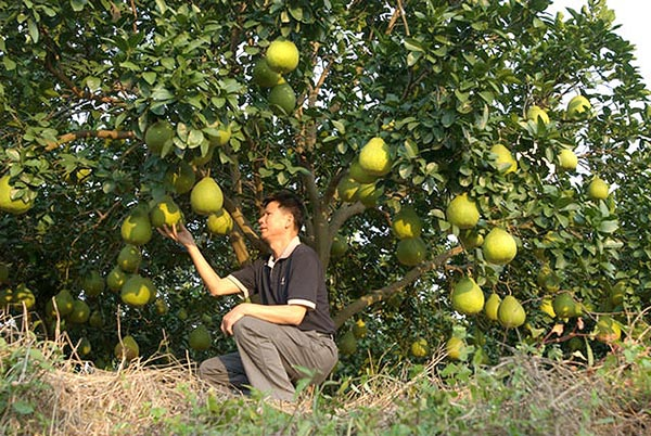 Где и как растет помело - на фото дерево со спелыми фруктами памела.