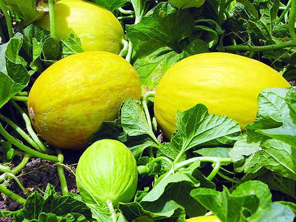 Как растет дыня - это ягода, фрукт или овощ ( бахчевая культура)