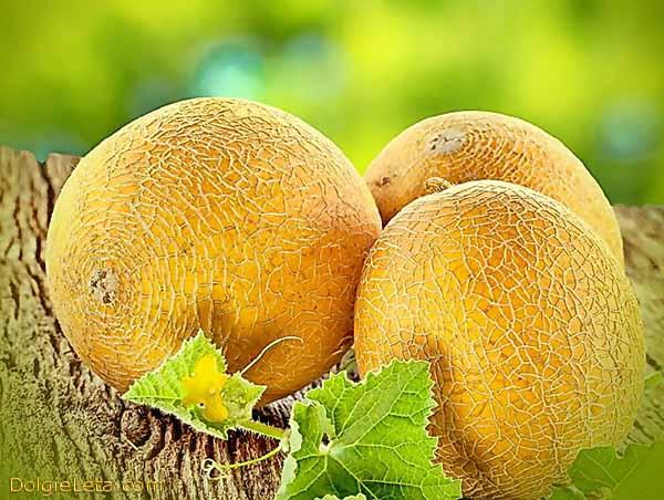 Полезные свойства и противопоказания дыни - польза и вред для здоровья. На фото три спелых дыньки.