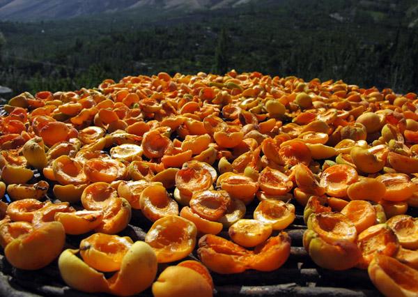 Сушка абрикоса
