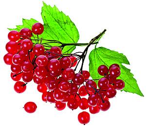 Ягода калина - полезные свойства и противопоказания, польза и вред плодов, рецепты из калины - компот, сиропы, желе