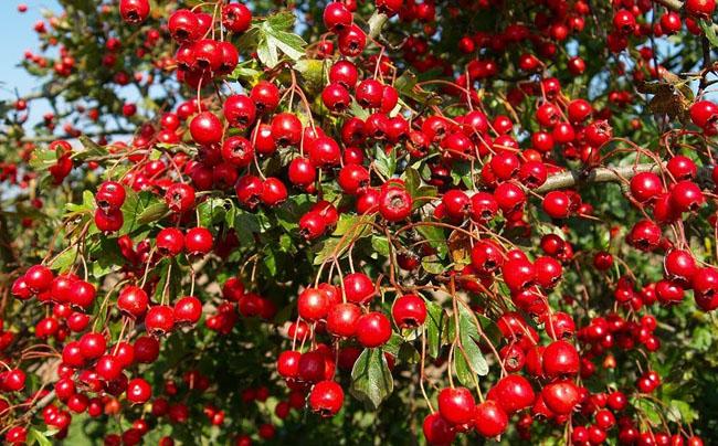 Сбор боярышника - когда надо собирать ягоды и как правильно сушить