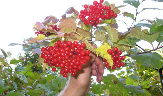 Сбор калины - когда надо собирать ягоды