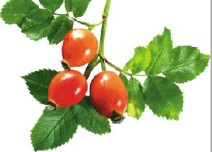 Полезные свойства и противопоказания шиповника - польза и вред ягод, рецепты на зиму